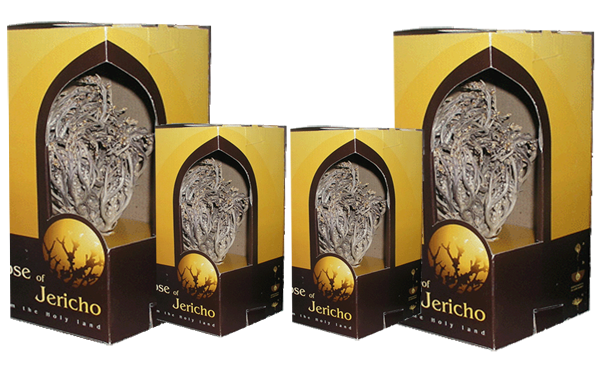 Spiritual uses of real Rose of Jericho - ROSE OF JERICHO -HOLY LAND